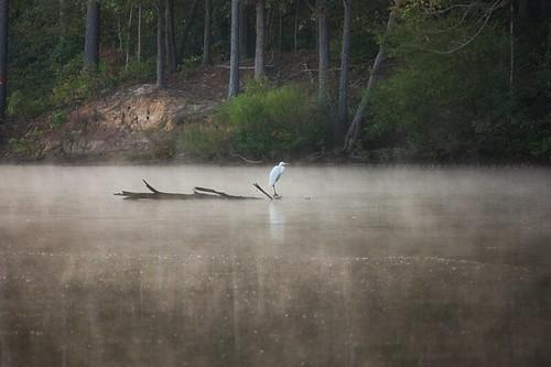 morning mist sunrise nc egret greatwhiteegret jordanlake lakw ardeaalbaegretta imaginefotocom