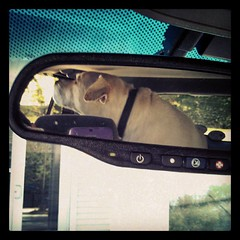 Day 23 #yarnpadc Mirror - #happydog going for a ride, in the rear view mirror #love