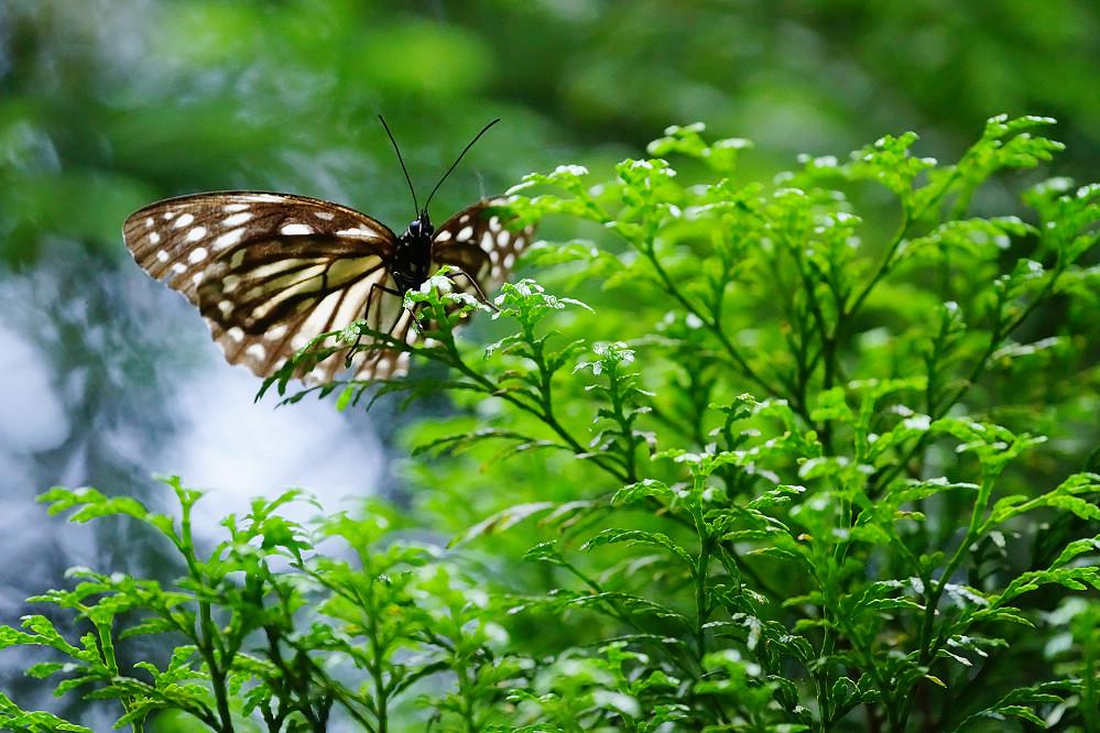 班眼蝶屬台灣斑眼蝶-1