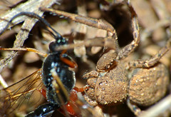 Crab Spider (Xysticus sp.) with Ichneumonid prey (Ephialtes sp.)