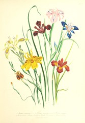 """British Library digitised image from page 29 of """"The ladies' flower garden of ornamental bulbous plants"""""""