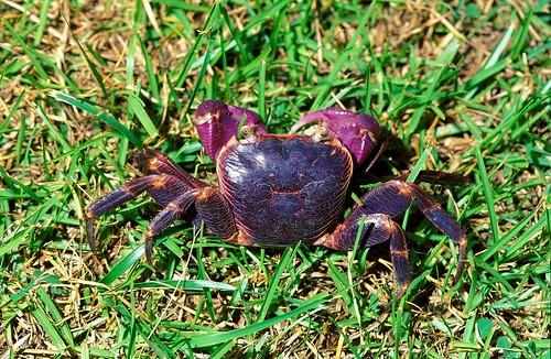 葛氏陸方蟹 (Geograpsus grayi),是方蟹科中較陸化的類群,棲息於海岸附近的高地,有時可離岸達一公里之遠。(圖片攝影:施習德)