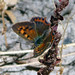Small photo of Small Copper. Lycaena phlaeas. Late brood Female.