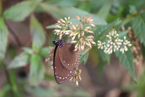 瑟捨紫蝶幽谷步道,吸花蜜的紫斑蝶。