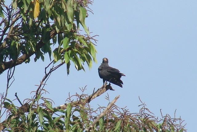 snail kite Guyana 2007 010
