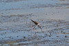Black-winged Stilt by ei_luke