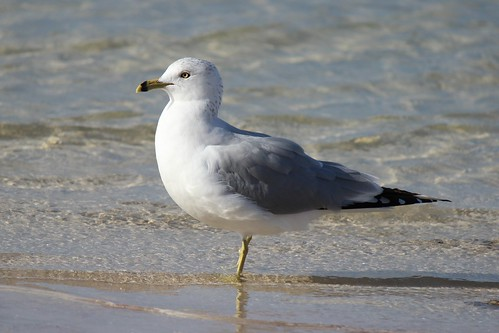 IMG_3578__Ring-Billed_Gull