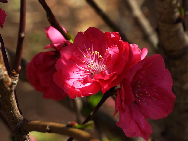 Prunus persica 'Fastigiata'  ホウキモモ