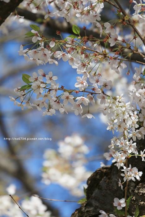 20140502_AomoriSakura_2050 ff