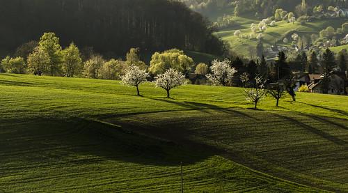 shadow white green rural schweiz switzerland warm suisse swiss basel grün svizzera weiss schatten cherrytree frühling 70200mm blühen baselland baselbiet gelterkinden basellandschaft baselcountry canoneos60d simonmangold