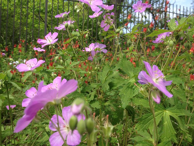 Geranium maculatum (wild geranium). Photo by Sarah Schmidt.