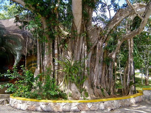 Banyan Tree at Chichen Itza