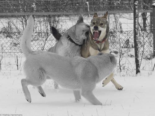 Yuma laat zijn tanden naar Snowy zien deels zwart-wit