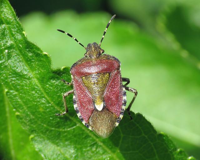 Hairy Shieldbug - Dolycoris baccarum