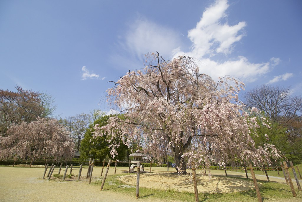 Shidare zakura in Kajo Park