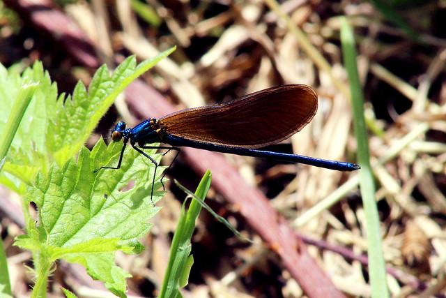 A male Beautiful Demoiselle damselfly