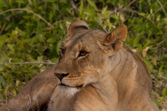Lion - Female