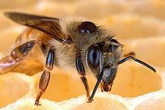 背上長了蜂蟹蟎的蜜蜂。蟎蟲會導致蜂群的死亡和疾病(圖片由Scott Bauer/USDA提供)。