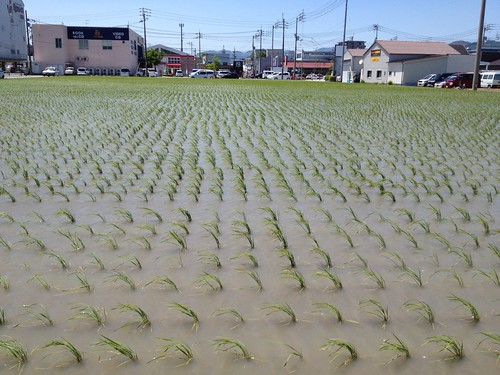 稲の緑がまぶしい by haruhiko_iyota