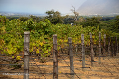 The vinyard at Groot Constantia, overlooked by Table Mountain