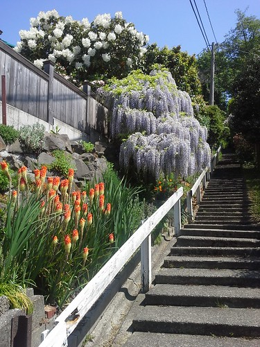 Red hot poker, wisteria, and rhody...