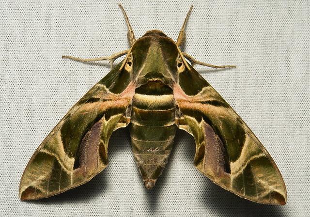 Oleander Hawk Moth (Daphnis nerii, Sphingidae)   Flickr ...
