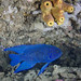 Blue devil Yellow sponge by Andrew P Newton