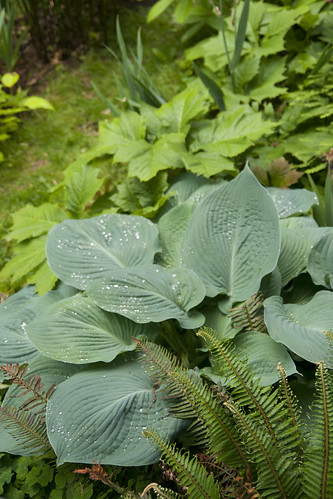 Hosta and Rodgersia 2