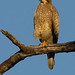 White-eyed Buzzard (Paul Young)