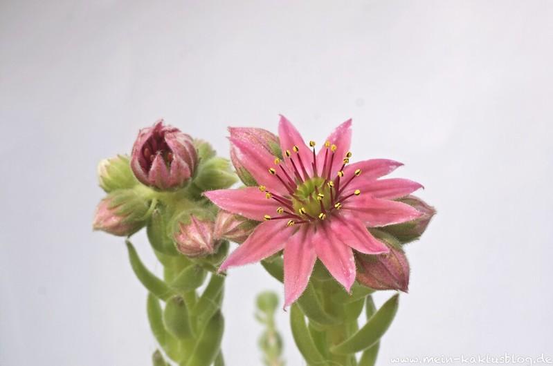 Sempervivium Hybride