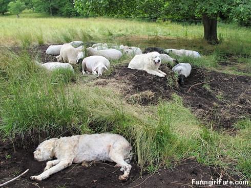 (31-12) Daisy dug down to make a cool spot and flung dirt all over that sheep right below her - FarmgirlFare.com