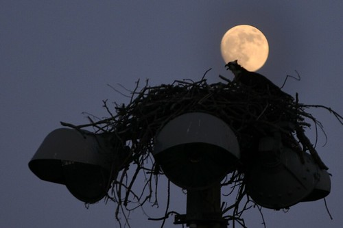 osprey moon 009 by jambori39 via I {heart} Rhody
