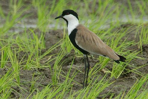 africa bird spur ghana handheld lapwing winged 1320 irrigation tema vanellusspinosus 1200mm 640iso paulinuk99999 x2tc sal70400g dawhenya