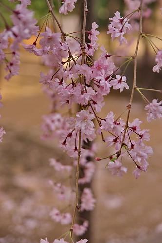 【写真】2013 桜 : 御香宮神社/2019-10-26/IMGP9747