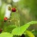 Small photo of Wild Strawberries