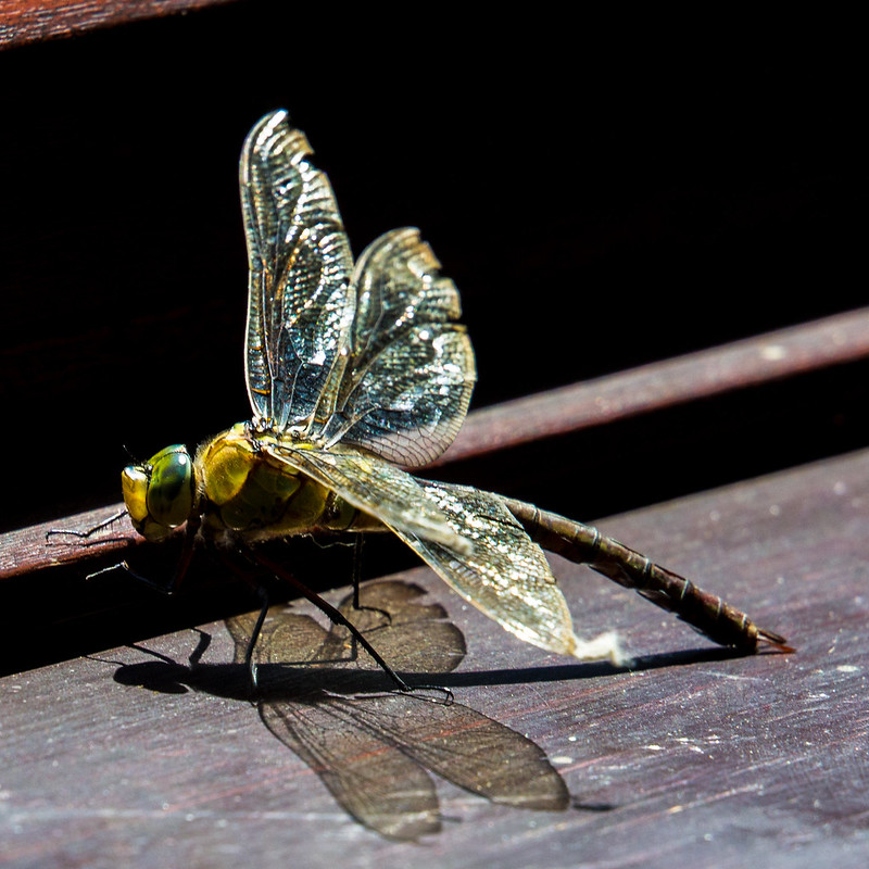 Emperor Dragonfly on the windowsill