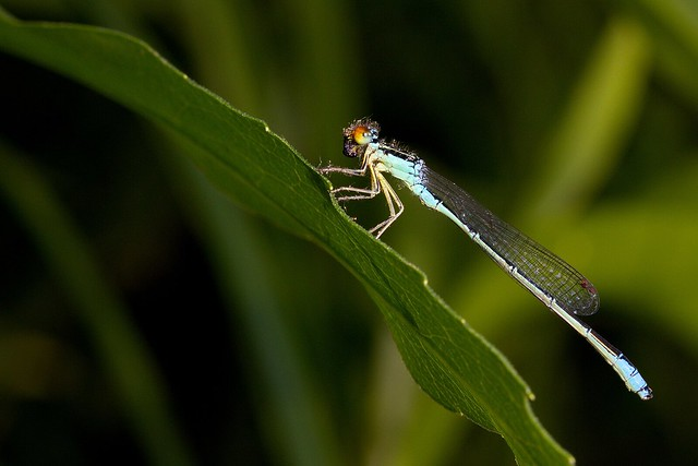 A Rainbow Bluet (Enallagma antennatum) with the remains of a plume moth in its mouth.