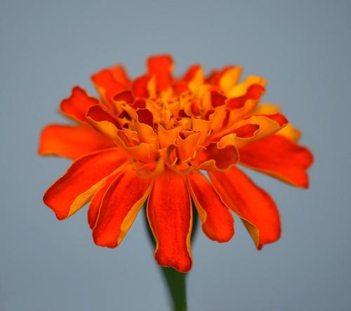 Colorful Marigold