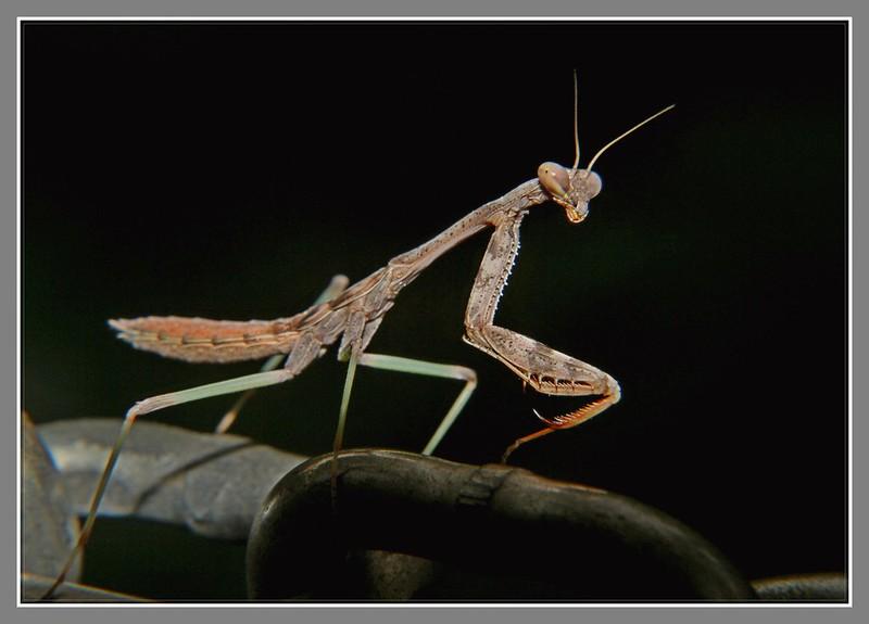 小螳螂_图1-5