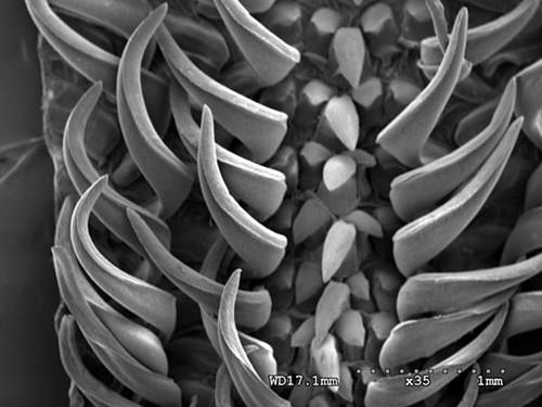 08、鸚鵡螺齒舌掃描式電子顯微鏡照片,齒舌上的尖齒細長銳利。圖片作者:李坤瑄。