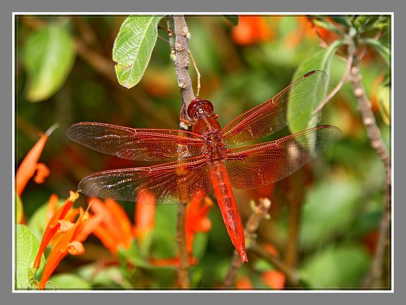 红蜻蜓_图1-4