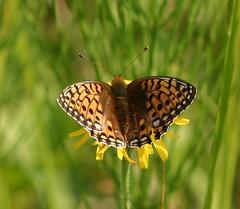 Dark Green Fritillary Butterfly Rutland. by davidearlgray