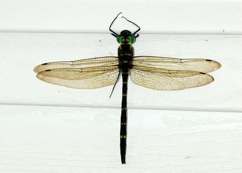 dragonfly southcarolina cruiser longs horrycounty macromia rivercruiser royalrivercruiser macromiataeniolata