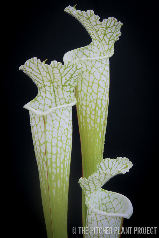 Sarracenia leucophylla 'Hurricane Creek White' - Clone D