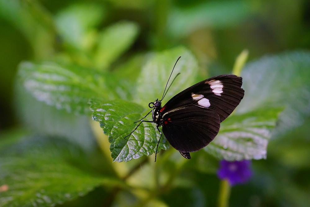 美洲蛺蝶 Heliconius-2