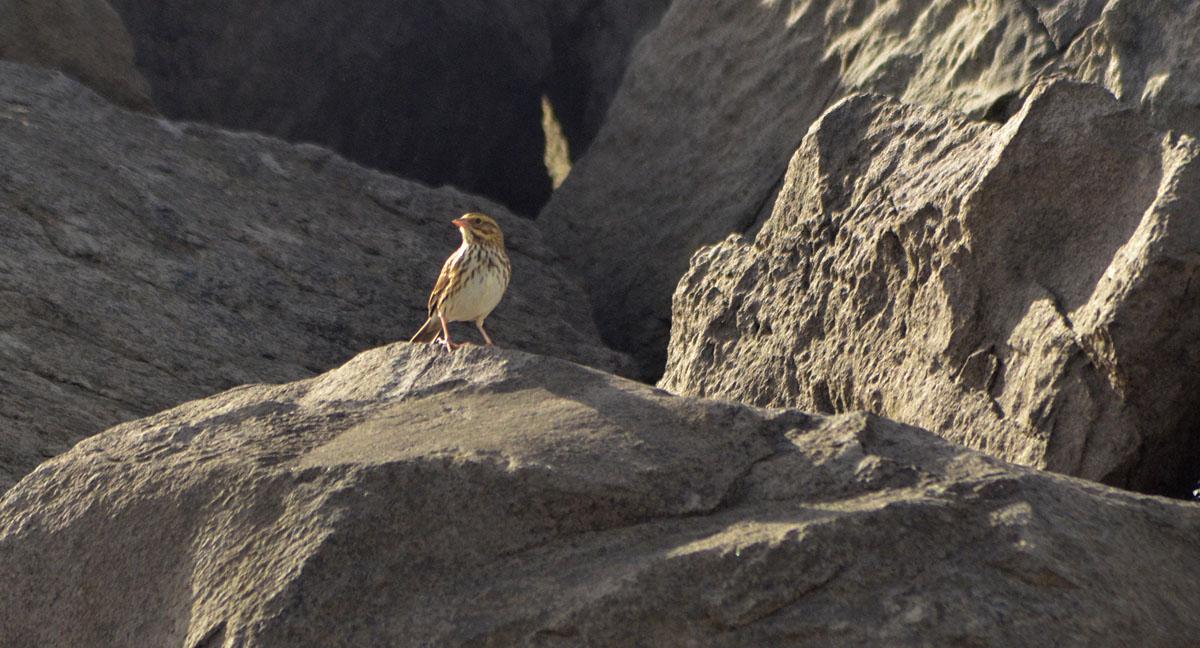 Savannah Sparrow - 10/9/2013