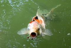 fish, fish pond, marine biology, koi,