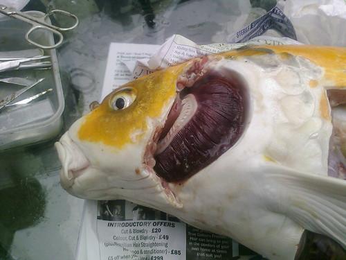 Egg bound koi opened up fish diseases and parasites for Koi carp eggs