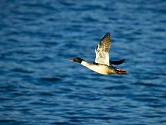 Flying duck (Explore)