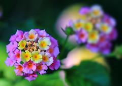 Lantana Blossom